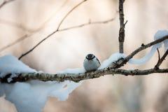 Eurasischer Kleiber Sitta europaea Vogel im Winterwald, sitzend auf einer Niederlassung bei Sonnenuntergang stockbild