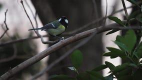 Eurasischer Kohlmeise-Vogel auf Baum stock video footage