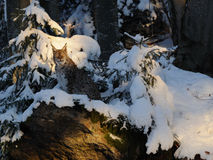 Eurasischer Luchs Stockfotos