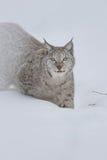 Eurasischer Luchs Stockfotografie