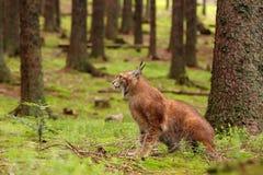 Eurasischer Luchs Lizenzfreie Stockfotografie