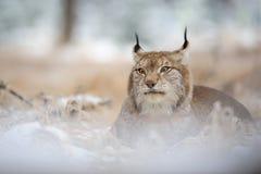 Eurasischer Luchs, der auf dem Boden in der Winterzeit liegt Lizenzfreie Stockfotografie