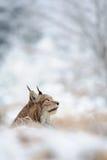 Eurasischer Luchs, der auf dem Boden in der Winterzeit sitzt Stockfoto