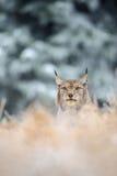 Eurasischer Luchs, der auf dem Boden in der Winterzeit sitzt Lizenzfreies Stockfoto