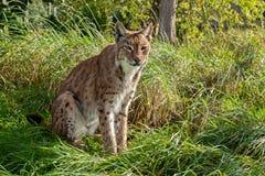 Eurasischer Luchs, der im langen Gras sitzt Lizenzfreies Stockbild