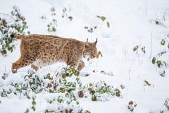 Eurasischer Luchs, der ruhig in Schnee geht stockfotografie