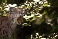 Eurasischer Luchs, der seine Zähne zeigt Stockfotografie
