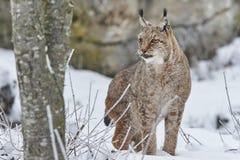 Eurasischer Luchs im Schnee Stockfotos