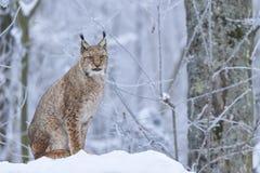 Eurasischer Luchs im Schnee Stockfoto