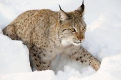 Eurasischer Luchs im Schnee im kalten Winter in Troms-Grafschaft, Norwegen Lizenzfreies Stockbild
