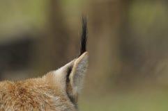 Eurasischer Luchs (Luchsluchs) Lizenzfreie Stockbilder