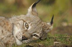Eurasischer Luchs (Luchsluchs) Lizenzfreies Stockfoto