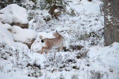 Eurasischer Luchs-Luchsluchs, der ruhig in Schnee geht stockfoto