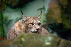 Eurasischer Luchs, Porträt der Wildkatze versteckt im Stein am Felsenberg, Tier im Naturlebensraum, Deutschland Stockfotografie