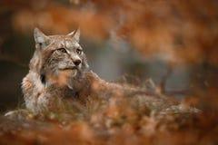 Eurasischer Luchs versteckt in duriing Herbst der orange Eichenniederlassung Lizenzfreie Stockfotografie
