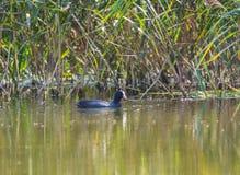 Eurasischer Mantel, der die Kamera auf dem Typha und dem grünen Wasser betrachtet stockbilder