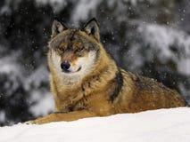 Eurasischer oder europäischer Wolf Lizenzfreies Stockfoto