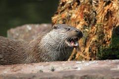 Eurasischer Otter Lizenzfreies Stockfoto