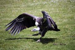 Eurasischer schwarzer Geier Stockbild