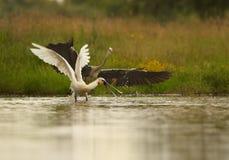 Eurasischer Spoonbill, der mit Grey Heron kämpft Lizenzfreie Stockfotos
