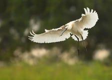 Eurasischer Spoonbill, Platalea leucorodia, weißes Vogelfliegen mit ausgestreckten Flügeln Stockfotos