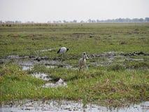 Eurasischer Spoonbill und schwarz-geflügelte Stelze in Nationalpark Chobe Lizenzfreies Stockfoto