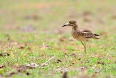 Eurasischer Stein-großer Brachvogel Vogel Stockfoto
