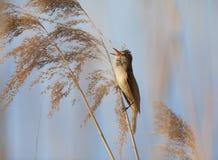 Eurasischer Teichrohrsänger, Acrocephalus scirpaceus, in der natürlichen Reedumwelt Stockbilder