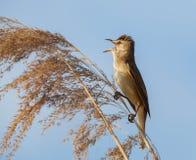 Eurasischer Teichrohrsänger, Acrocephalus scirpaceus, in der natürlichen Reedumwelt Stockfotografie