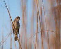 Eurasischer Teichrohrsänger, Acrocephalus scirpaceus, in der natürlichen Reedumwelt Lizenzfreie Stockfotografie