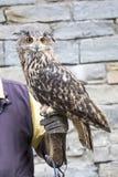 Eurasischer Uhu auf der Hand eines Falkners Lizenzfreie Stockfotografie