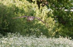 Eurasischer Uhu, der über ein Feld von weißen Blumen fliegt Stockbild