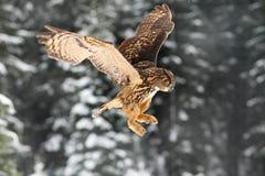 Eurasischer Uhu, Fliegenvogel mit offenen Flügeln Eule mit Schneeflocke im schneebedeckten Wald während des kalten Winters Uhu in Stockbild