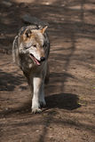 Eurasischer Wolf Lizenzfreie Stockbilder