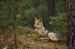 Eurasischer Wolf, der nah in Herbstwald - Canis Lupus Lupus aufpasst lizenzfreies stockfoto