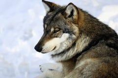 Eurasischer Wolf im Winter Stockfoto