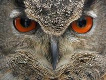 Eurasisches Adler-Eulengesicht Lizenzfreie Stockfotos