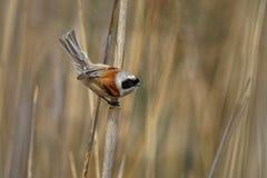 Eurasisches Beutelmeise Remiz-pendulinus hockte auf einem Stiel des Schilfs mit braunem Hintergrund stockfoto