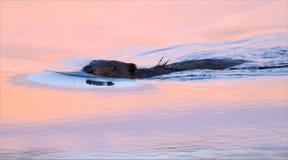 Eurasisches Biberschwimmen im bunten Sonnenuntergang, der Zeit glättet stockfotos