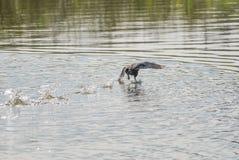 Eurasisches Blässhuhn öffnete seine Flügel und Läufe auf dem Wasser und verließ SP lizenzfreies stockfoto