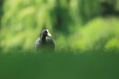Eurasisches Blässhuhn Stockfotografie