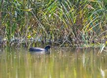 Eurasisches Blässhuhn zieht die Anlage vom See auf dem Typha backgro lizenzfreie stockbilder