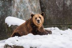 Eurasisches Braun betrifft den Schneehintergrund Lizenzfreies Stockfoto