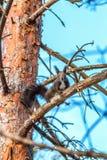 Eurasisches Eichhörnchen, das in den Schnee geht stockfotos