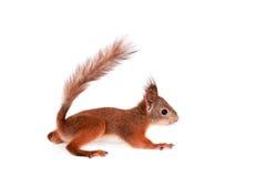 Eurasisches Eichhörnchen, Sciurus gemein auf Weiß Lizenzfreie Stockbilder