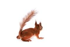 Eurasisches Eichhörnchen, Sciurus gemein auf Weiß Stockfoto