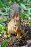 Eurasisches Eichhörnchen ( Sciurus vulgaris) im Endstadium des verschüttenden Essensaisonstückes des klaren Brotringes stockfotografie