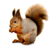 Eurasisches Eichhörnchen vor einem weißen Hintergrund Stockfotografie