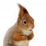 Eurasisches Eichhörnchen vor einem weißen Hintergrund Lizenzfreie Stockfotos