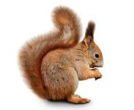 Eurasisches Eichhörnchen vor einem weißen Hintergrund Stockfotos